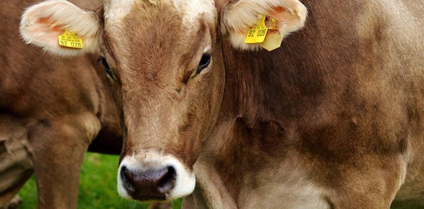 Holandia: znaleziono krowę dryfującą 100 km od domu