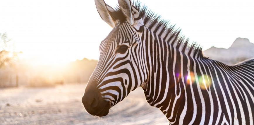 Maryland: 5 zebr uciekło z prywatnej fermy