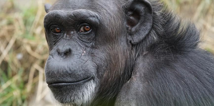 USA: wiceszeryf zastrzelił szympansa, który zaatakował kobietę