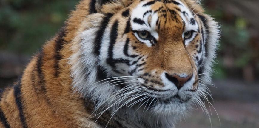 Teksas: po tygodniu odnaleziono tygrysa, który uciekł opiekunowi