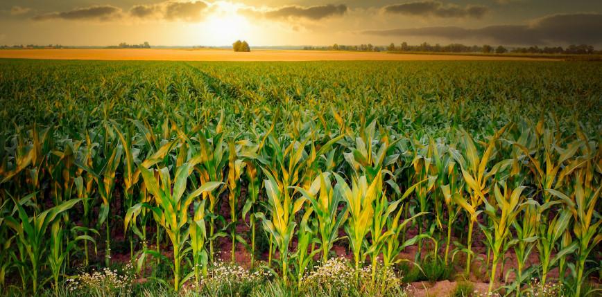 Włochy: na polu kukurydzy znaleziono ciała dwóch kobiet