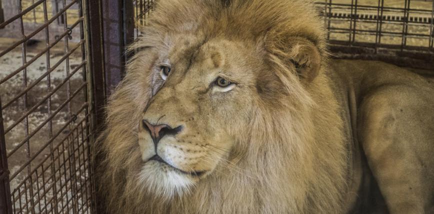 RPA: nowe ograniczenia związane z hodowlą lwów